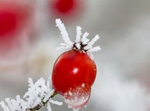 Red rose-hips macro in winter under frost in the cold royalty free stock photos