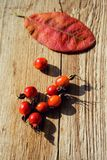 Red rose hips Royalty Free Stock Photos