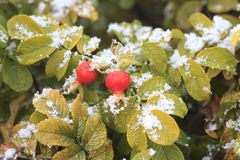Red rose hips in the snow. Ripe red rose hips and autumn leaves in the snow stock image