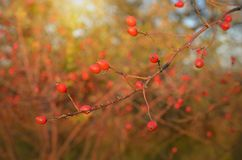 Red rose hips in sunset Royalty Free Stock Image