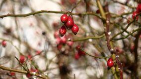 Red rose hips on a tree branch. Red rose hips on a tree branch stock footage