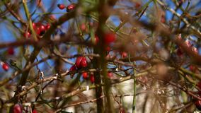 Red rose hips on a tree branch. Red rose hips on a tree branch stock video