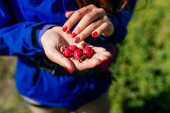 Red Rose hips in woman hands Stock Photo