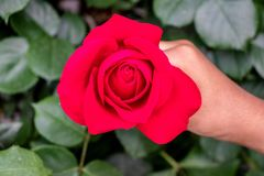 Red Rose hold by woman in hand stock image