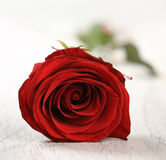 Red rose for holiday Royalty Free Stock Photos