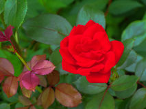 Red Rose. Horizontal image of a red rose on a rosebush stock photo