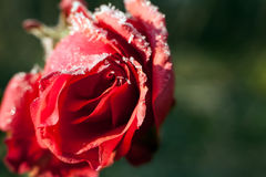 Red rose with ice crystals of water. Spring flower in winter time. Red rose with ice crystals of water. Spring flower in winter Royalty Free Stock Photo