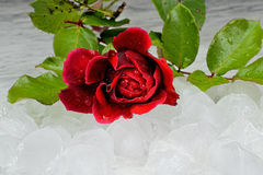 Red rose on ice cubes on a marble table Royalty Free Stock Photos