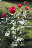 Red rose II Royalty Free Stock Image