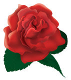 Red rose illustration Stock Photos