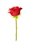 Red rose illustration Royalty Free Stock Images