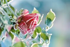 Free Red Rose In Crystals Of Frost On A Frosty Morning. Very Soft Selective Focus. Stock Photo - 207545340