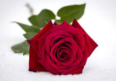 Free Red Rose In Snow Royalty Free Stock Images - 88910099