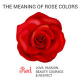 Red rose infographics Stock Images