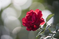 Red Rose. Infront of blured background Stock Photos