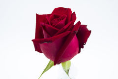 Red rose isolate Stock Photo