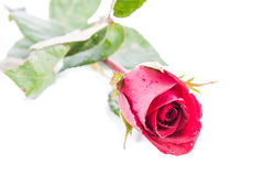 Red rose isolate Royalty Free Stock Images