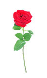 Red rose, isolated. Royalty Free Stock Photo