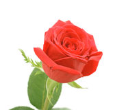 Red rose, isolated Royalty Free Stock Photography