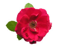 Red rose - isolated. White background royalty free stock images