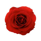 Red rose isolated Stock Images