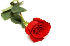 Red rose isolated. On the white background Royalty Free Stock Images