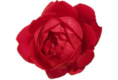 The red rose, isolated against a white background, closeup Stock Image