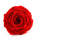 Red Rose on the isolated background Stock Image