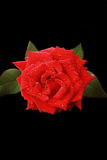 Red rose isolated on black Stock Photos
