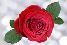 Red rose isolated on blur background with leaves. Red rose isolated on blur background, with leaves Stock Photos