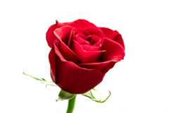 Isolated red rose flower Royalty Free Stock Image