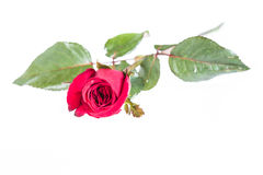 Red rose isolated Stock Image