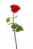 Red Rose Isolated On White Background. Stock Image
