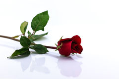 Red rose isolated with shadow horizontally Royalty Free Stock Image
