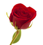 Red rose isolated Royalty Free Stock Photography
