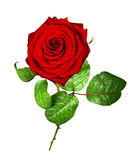 Red rose isolated on white. (with clipping path royalty free stock images