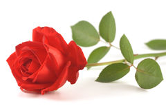 Red rose isolated on white Stock Photo