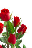 Red rose isolated on white background Royalty Free Stock Image