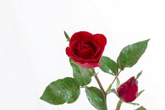 Red rose isolated on white background Stock Image