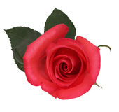 Red rose isolated on white Stock Images