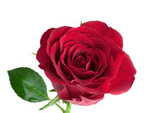 Red Rose isolated Stock Photography