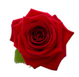 Red rose. Stock Images