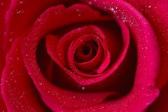 Red rose. Isolated in white background royalty free stock images