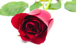 Red rose isolated on white background Royalty Free Stock Images