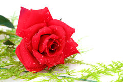 Red rose. Isolated on white background Stock Photos