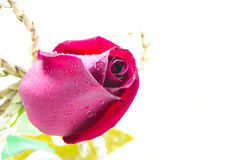 Red rose isolated on white background. Royalty Free Stock Photography