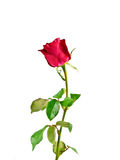 Red rose isolated on white Royalty Free Stock Photo