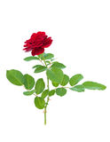 Red rose. Isolated on a white background Royalty Free Stock Photo