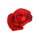 Red rose isolated on white background Royalty Free Stock Photos