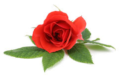 Red Rose. Isolated on a white background stock photo